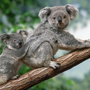 Zoofäscht – Koala braucht Baum