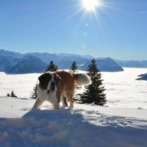 Rigi Bernhardiner: Sanfte Riesen zurück auf der Königin der Berge