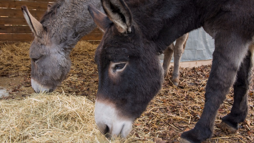 Der Samichlaus brucht für sin Esel en Unterstand